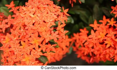 Beautiful red Ixora species flowers on leaves background