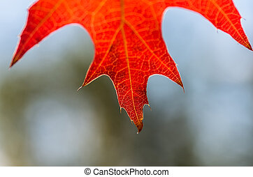Beautiful red leaf in autumn background