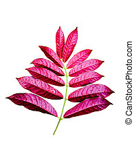 Beautiful red leaves on white background
