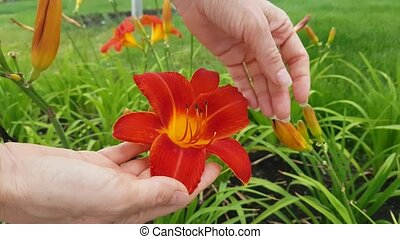 Beautiful Red Lily Flower