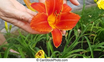 Beautiful Red Lily Flower Varietal On The Flowerbed
