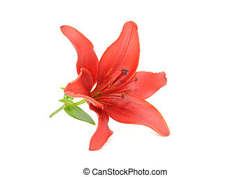 Beautiful Red Lily Isolated on White Background
