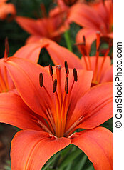 Beautiful red lily - Closeup of beautiful red lily