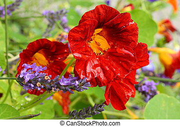 Beautiful red nasturtium after raining