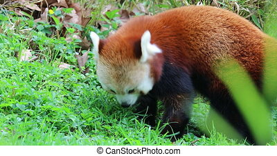 Beautiful Red Panda Eating Grass