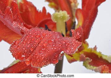 red parot tulip