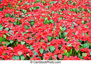 Beautiful red Poinsettia christmas flower