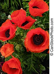 Beautiful red poppies in summer garden view