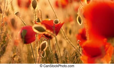 red poppies in the field - beautiful red poppies in the...