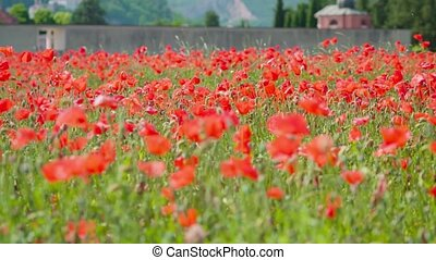 Beautiful red poppies on the cultivated field among green grass