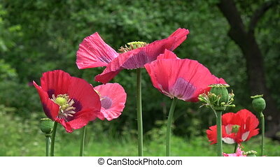 Beautiful red poppy blossoms in garden