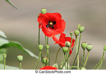 Beautiful red poppy in late spring.