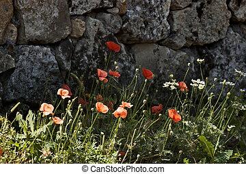 Beautiful red poppy on the background of a masonry stone wall