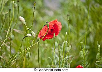 beautiful red poppy