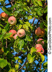 Beautiful red ripe apples on the tree