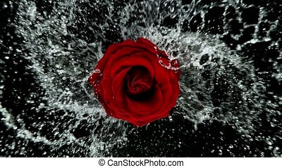 Beautiful red rose bloom rotation with water splash. Super slow motion, filmed on high speed cinematic camera at 1000 fps