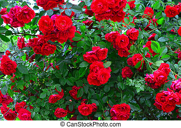Beautiful red rose bush red roses in garden, floral background