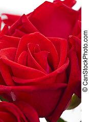Beautiful red rose close up shoot