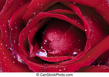 Beautiful red rose covered with dew drops, close up