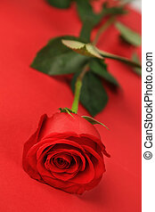 beautiful red rose isolated on red