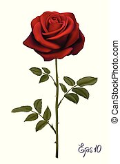 Beautiful red rose Isolated on white background.