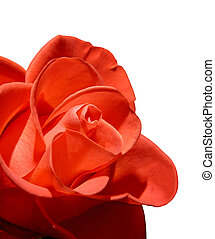 Beautiful red rose macro isolated on white background