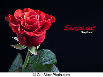 red rose - beautiful red rose on a black background for your...
