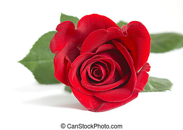 red rose - beautiful red rose on a white background