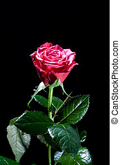 Beautiful red rose on black