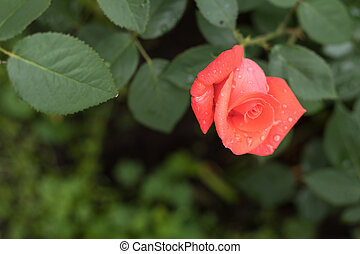 Beautiful red rose on green branch with on plain green background
