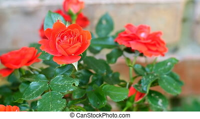 Beautiful red rose on rose bush sways in wind. Close-up. Outdoors.
