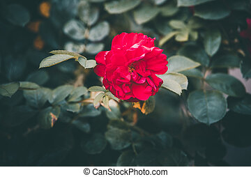 red rose on the bush against a dark background in the garden