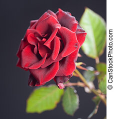 Beautiful red Rose over black