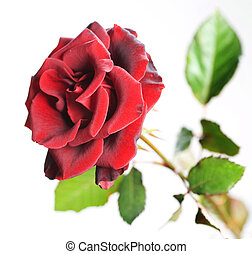 Beautiful Red Rose over white