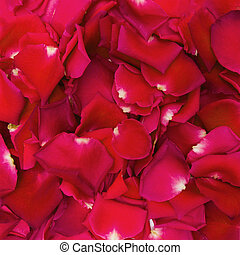 Beautiful red rose petals for background