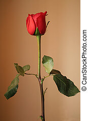 Red rose - beautiful Red rose