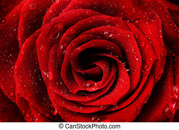 Beautiful Red Rose