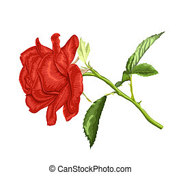 beautiful red rose with long stem and leaves isolated on...