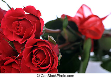 red roses close up
