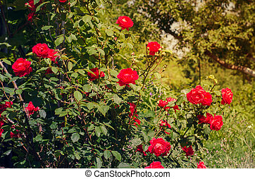 Beautiful red roses in the garden on a sunny day.