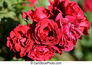 Beautiful red roses in the summer garden on a sunny day close up