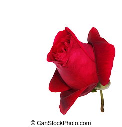 red roses isolated on white
