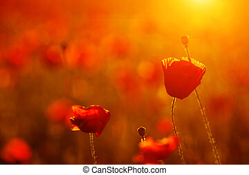 beautiful red scarlet poppies at sunset close-up in the field