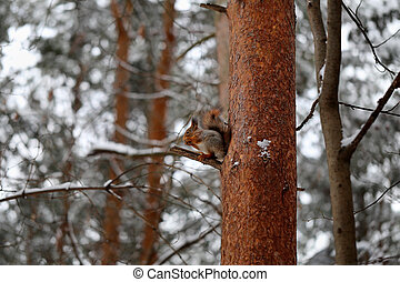 Beautiful red squirrel