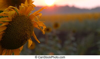Beautiful red sunset on the field with blooming young sunflowers in summer
