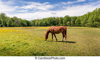 Beautiful Red Thoroughbred Horse Quietly Grazing in a grassy field with wild flowers surrounded by trees in the Springtime