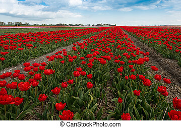 tulip fields in the North Netherlands