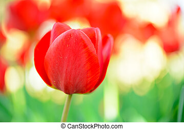 Beautiful Red Tulip in Field. Flower Image with Bright Background