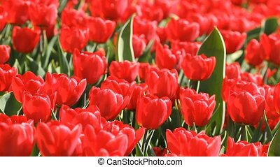 Beautiful red tulips bloomed in the springtime