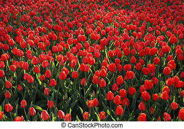 Beautiful red tulips, bright nature background